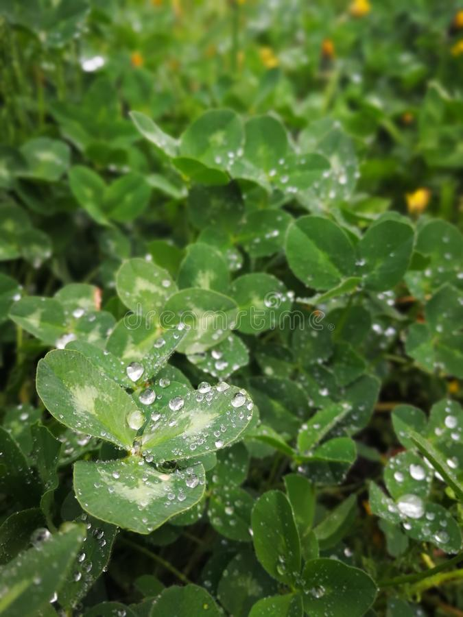 Clover leaves with dew drops stock photo