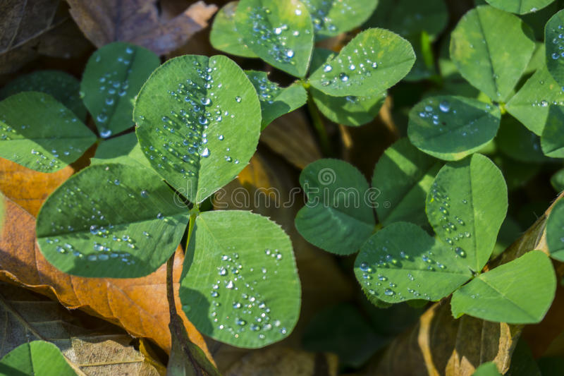 Clover leaves with drops of dew, texture, background royalty free stock photos