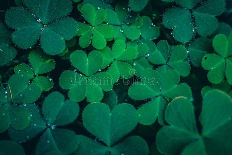Clover Leaves for Green background royalty free stock images