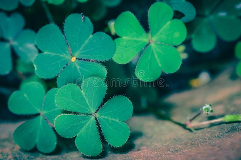 Clover Leaves for Green background stock photos