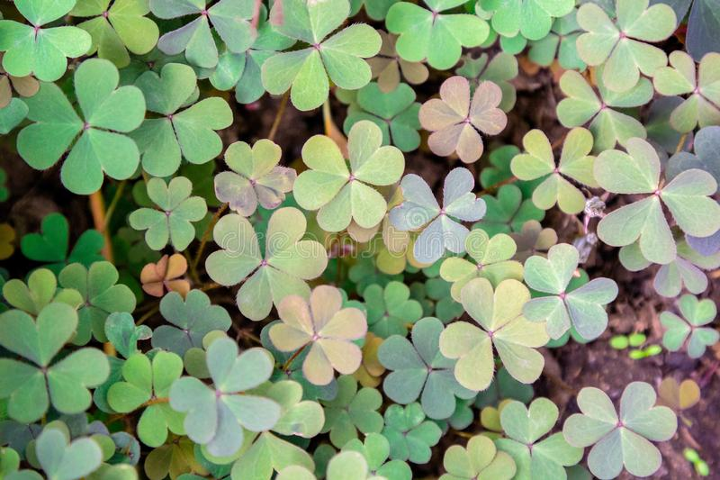 Clover leaves with three-leaved shamrocks, symbol of St Patrick day on natural background, selective focus.  stock photo