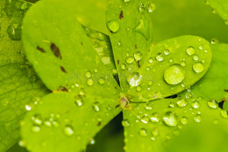 Clover leaves with wter droplets. Leaves of wild medicinal plant of forest in Jijel, Algeria stock images