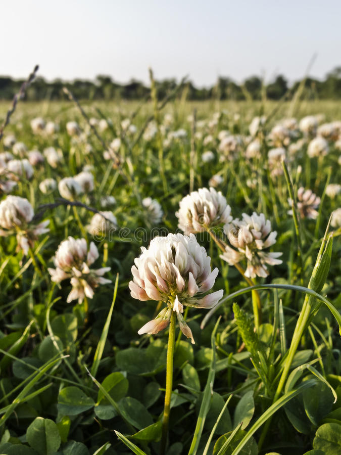Clover meadow. Meadow covered with white clover on a summer evening stock photography