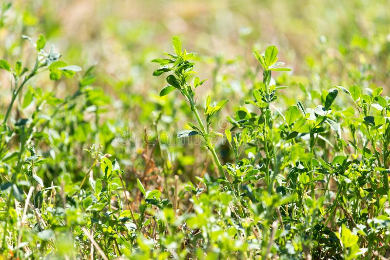 Clover in nature. In the park in nature stock photos