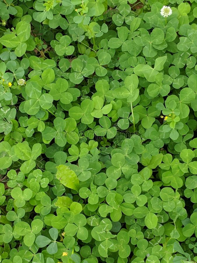 Clover patch stock image