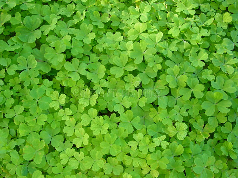 Clover patch stock photo. Image of leaf, wish, oxalis