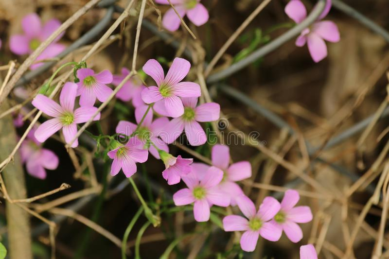 Clover and pink flowers close-up in Hong Kong stock image