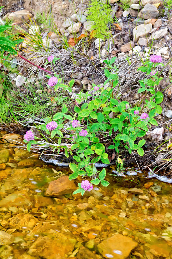Clover pink on river bank stock images