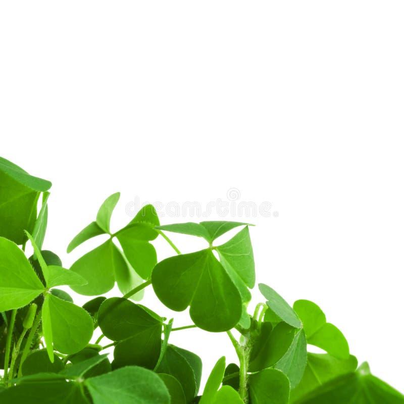 Clover plant macro shot. Isolated on white background stock image