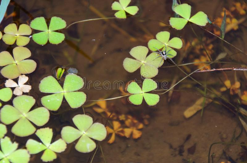 The clover plant in the water. A small spider on the clover leaf stock images