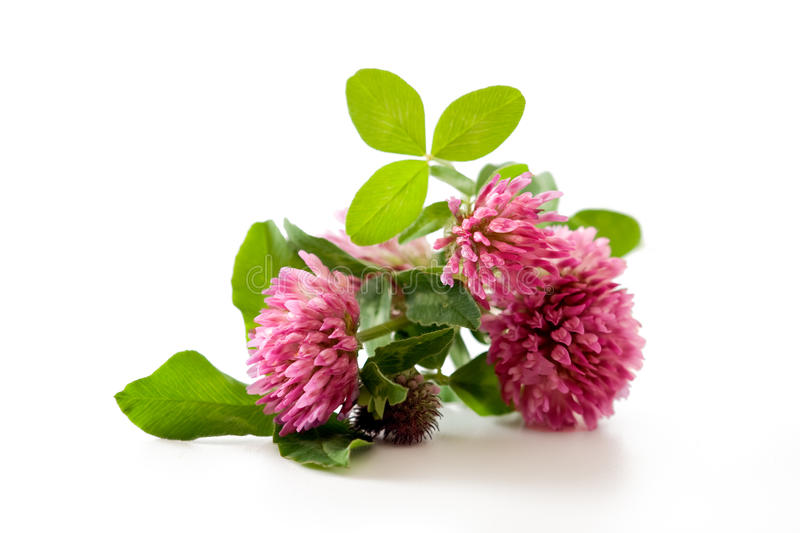 Clover, red clover medicinal plant isolated. On white background stock images