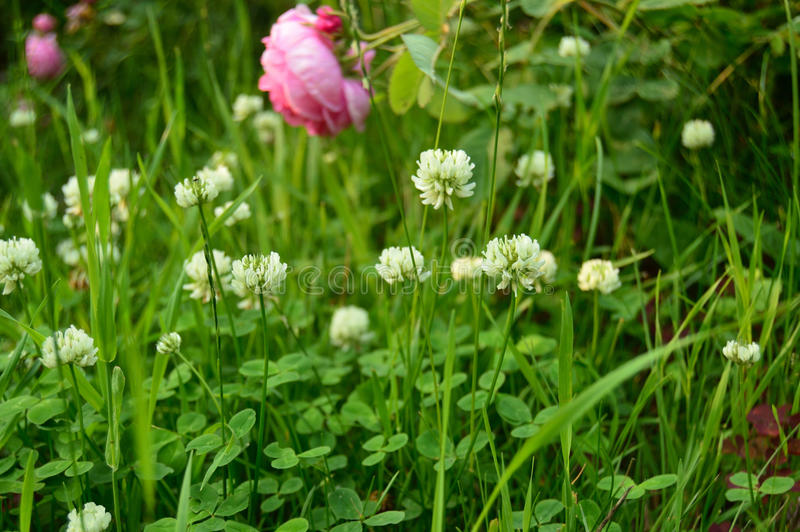 Clover and rose royalty free stock image