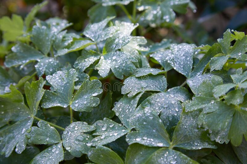 Clover shaped garden plant Oxalis acetosella. With dew drops stock image
