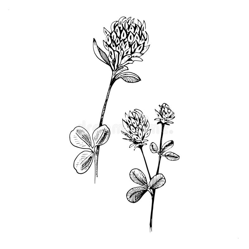 Clover sketch. Hand drawn black two flowers of clover with leaves. royalty free illustration