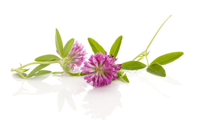 Clover or trefoil flowers. On white background stock photo