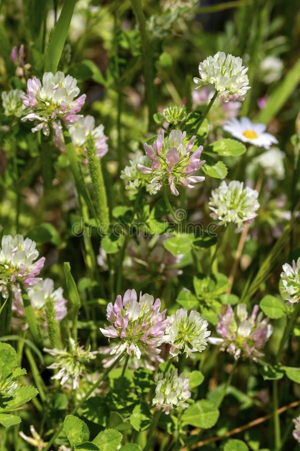 Clover Trifolium pratense grows and blooms in the meadow close-up stock photography