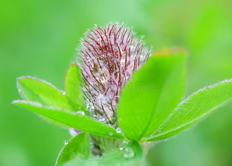 Clover trifolium pratense. Purple flower Clover Trifolium pratense covered with water drops after rain in the summer stock photography