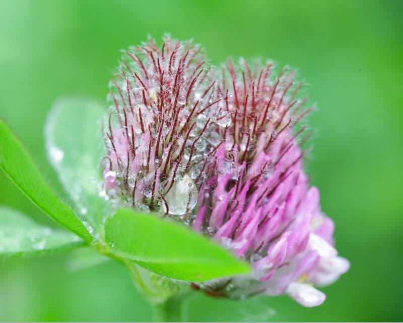 Clover Trifolium pratense. Purple flower Clover trifolium pratense covered with water drops after rain in the summer stock photo