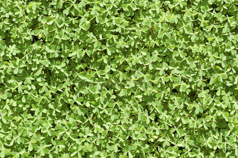 Cloverleaf background. Detail of cloverleaf in a sunny field from Cyprus stock photos