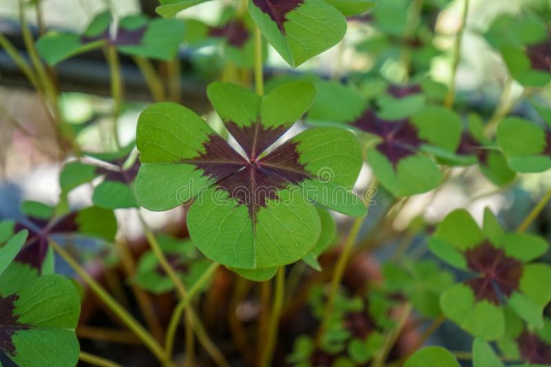 Cloverleaf close up view, sign of luck. Cloverleaf with four sections, which brings luck to people stock images