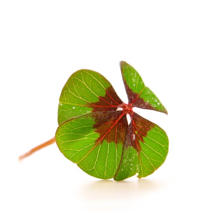 Cloverleaf. Fresh green cloverleaf on white background royalty free stock photography