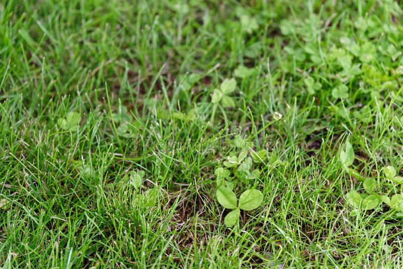Cloverleaf in a green lawn. Close up of untended lawn covered by green cloverleaf plant stock images