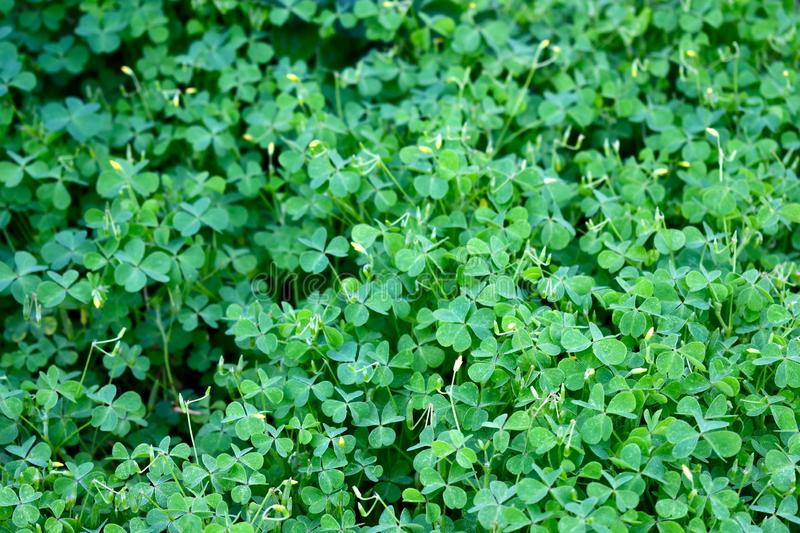 Ground cover - Oxalis - Wood Sorrel royalty free stock photography