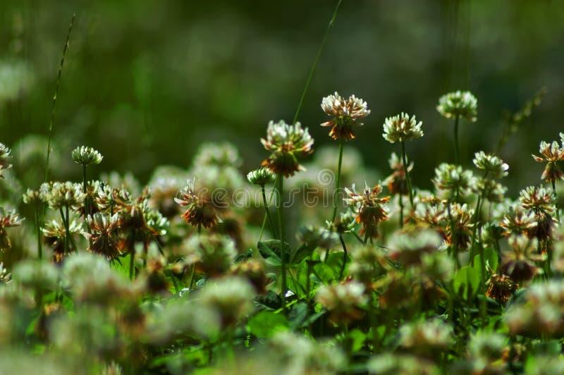 Download Clovers stock photo. Image of saint, irish, foliage, patricks - 2597838