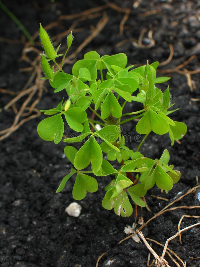 Clovers from Asphalt stock photography