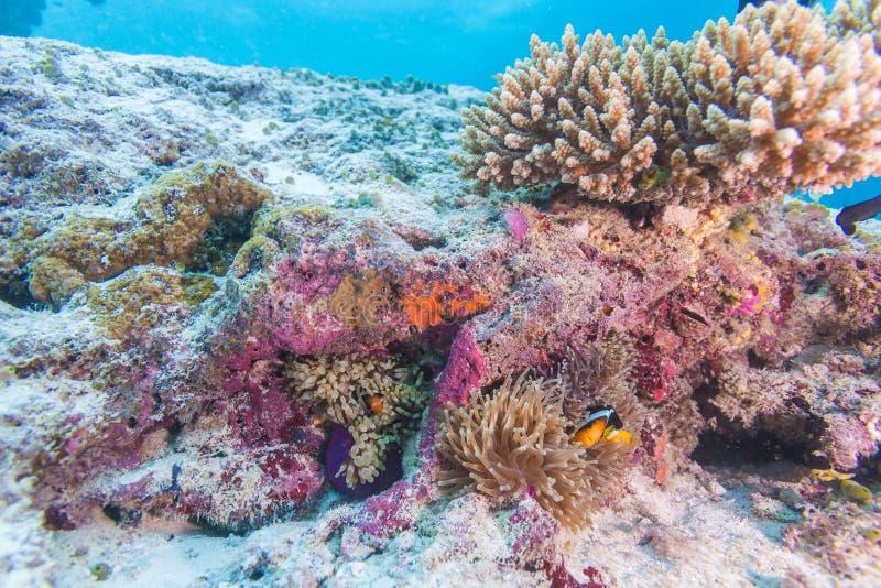 Download Clown à Queue Jaune Fish Avec L'actinie Photo stock - Image du coloré, nautique: 77159708