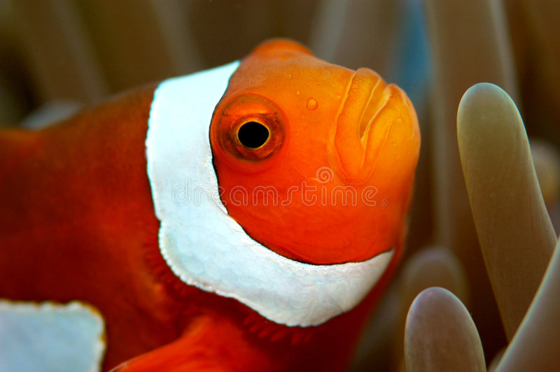 Clown anemone stock images