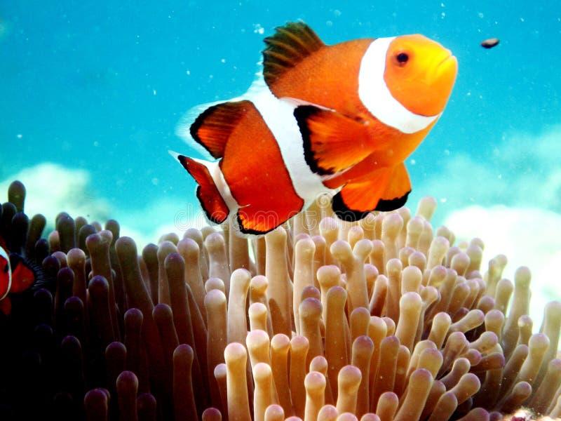 Clown-Anemone-Fische stockfoto