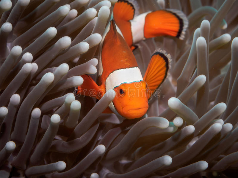 Clown anemone fishNemo in anemone stock photos