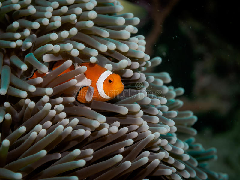 Clown anemone fishNemo in anemone stock image