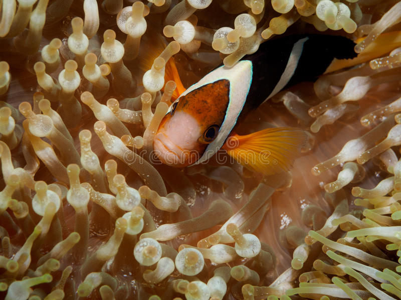 Clown anemone fishNemo in anemone stock photography