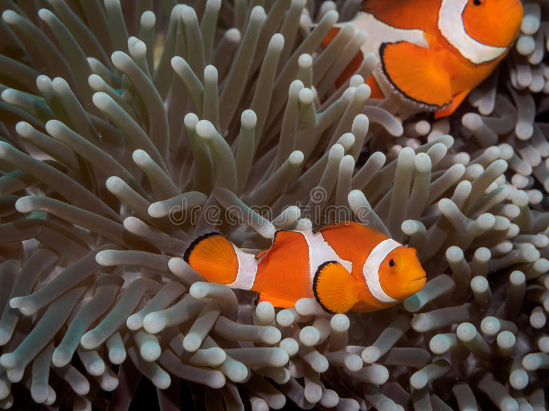 Clown anemone fishNemo in anemone royalty free stock photo