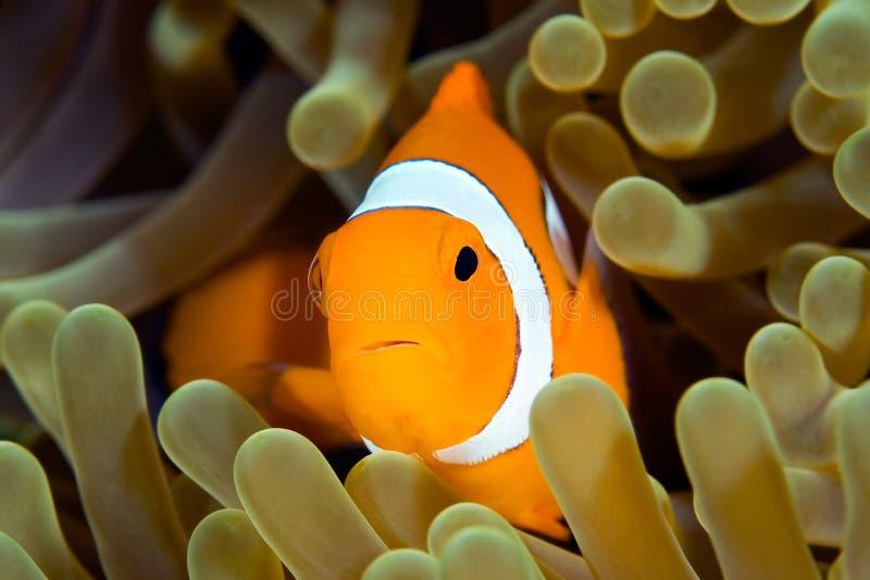 Clown Anemonefish stockfotografie