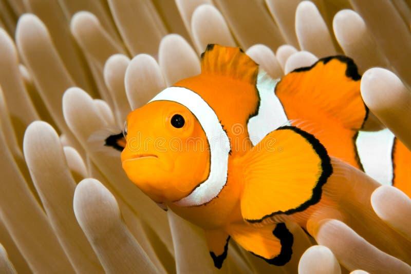 Clown Anemonefish stockfotos