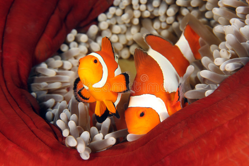 Clown anemonefish lizenzfreies stockbild