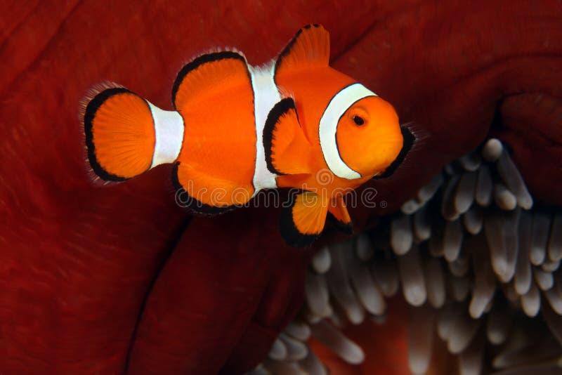Clown anemonefish royalty-vrije stock afbeeldingen