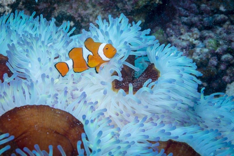 Clown Anemonefish stock fotografie