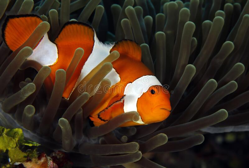 Clown Anemonefish in Anemone stock image