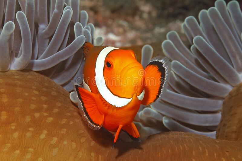 Clown Anemonefish, Amphiprion ocellaris stock foto's
