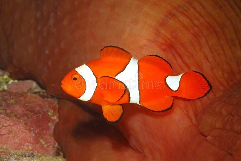 Clown Anemonefish, Amphiprion Percula stock foto