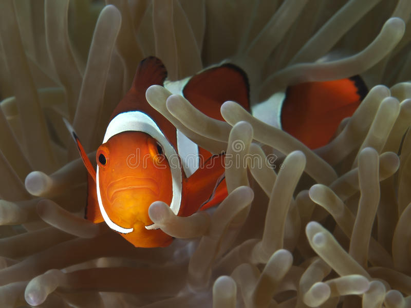 Clown anemonefish royalty free stock image