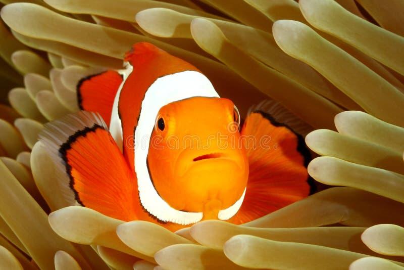 Clown Anemonefish in der Seeanemone lizenzfreie stockfotografie