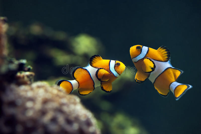 Clown anemonefish, Orange clownfish - Amphiprion percula. Anemone royalty free stock photo