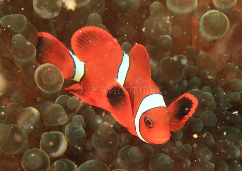 Clown anemonfish lizenzfreie stockfotografie