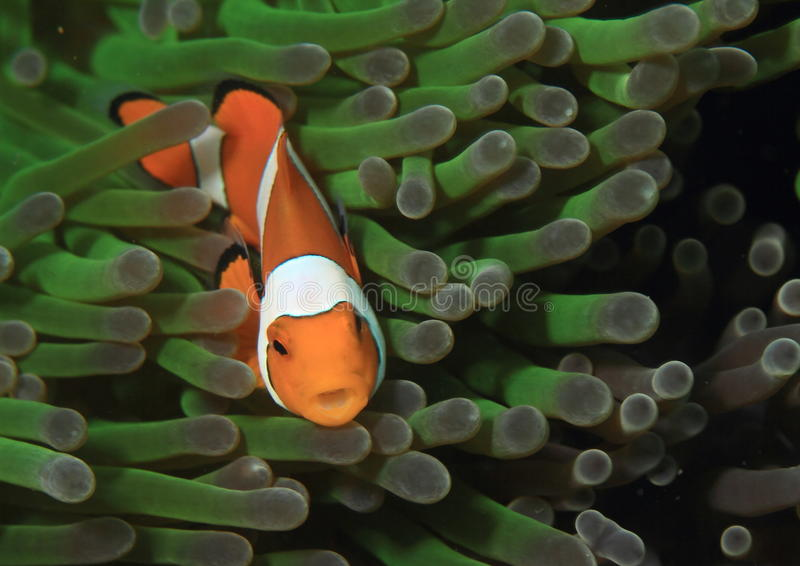 Download Clown anemonfish stock photo. Image of amphiprior, lembeh - 37696036