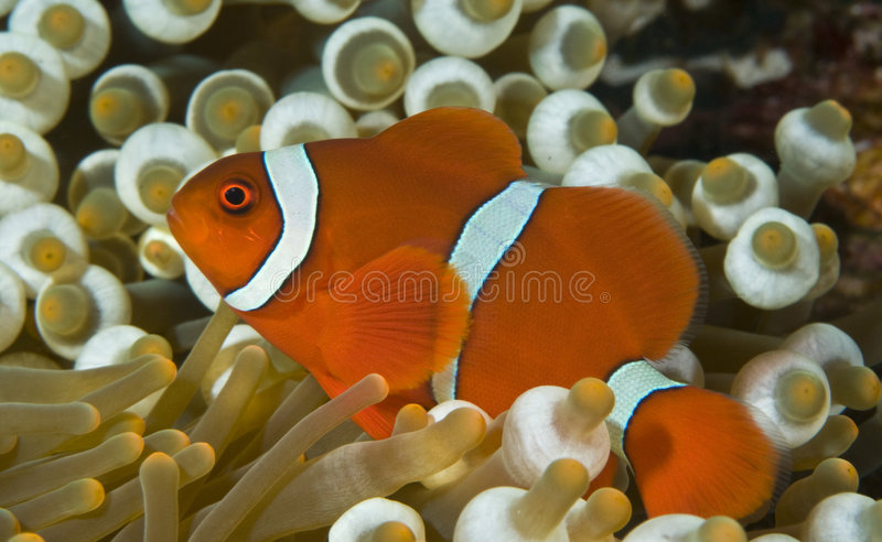 Clown anenomefish lizenzfreies stockfoto